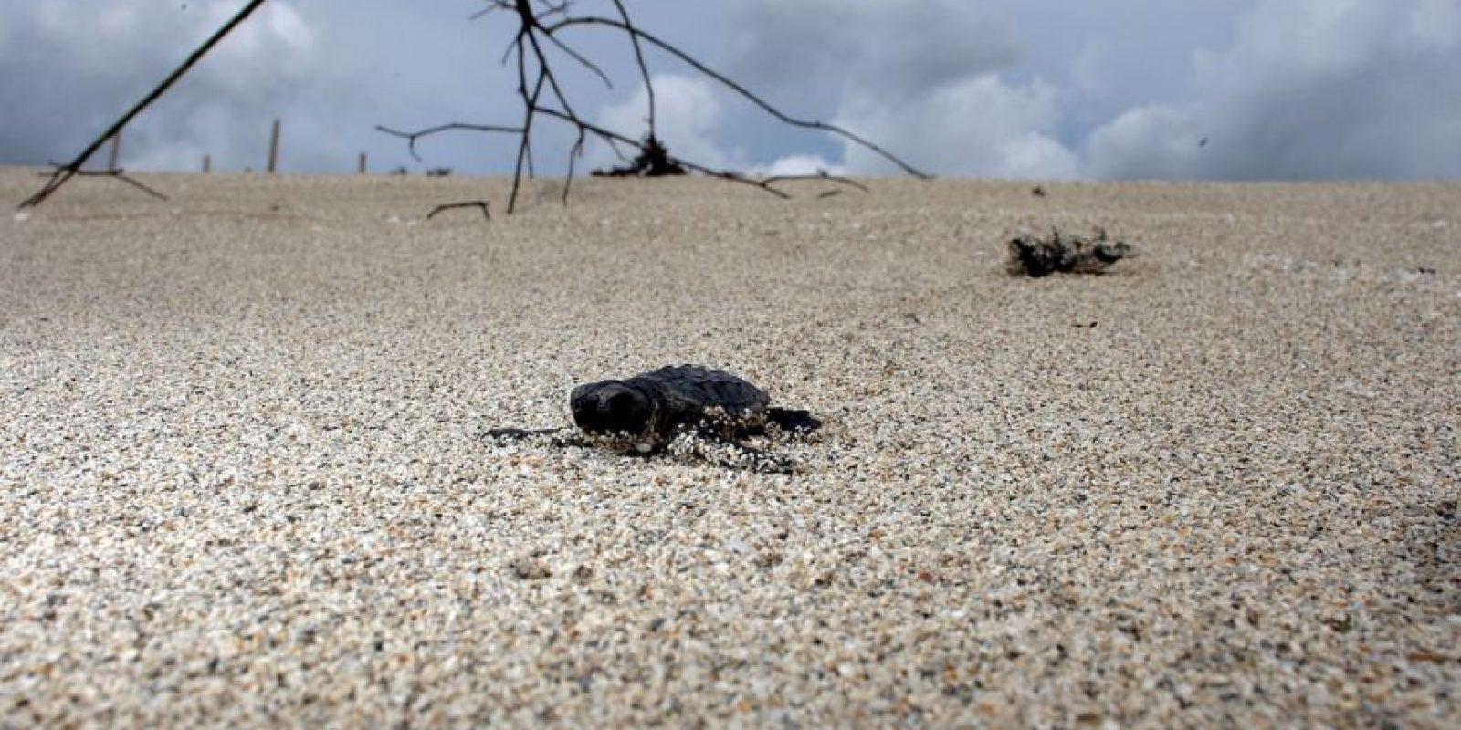 Es importante entender que la anatomía de las tortugas marinas está adaptada para su vida en el agua. Foto:Getty Images