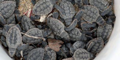 Las tortugas pertenecen al gran grupo de los reptiles y su origen se remonta a mas de 200 millones de años atras Foto:Getty Images