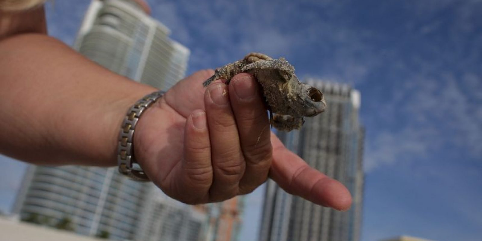 Se sabe que las tortugas marinas están distribuidas en muchos lugares alrededor del mundo, prefieren el trópico y las temperaturas subtropicales. Foto:Getty Images