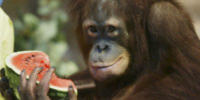 El psicólogo Harlow tomó a un par de monos y los separó de sus madres, dejándolos con madres sustitutas. Una de ellas estaba hecha de metal, con un bote de comida para que los monos pudieran comer; la otra estaba hecha de tela de toalla y sin alimento. El resultado fue que los monos pasaron más tiempo con la mamá de tela que con la de metal, probando que es más importante el afecto que el sustento. Foto:Getty