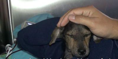 También le hicieron transfusión de sangre. Foto:Youtube/Hope for Paws