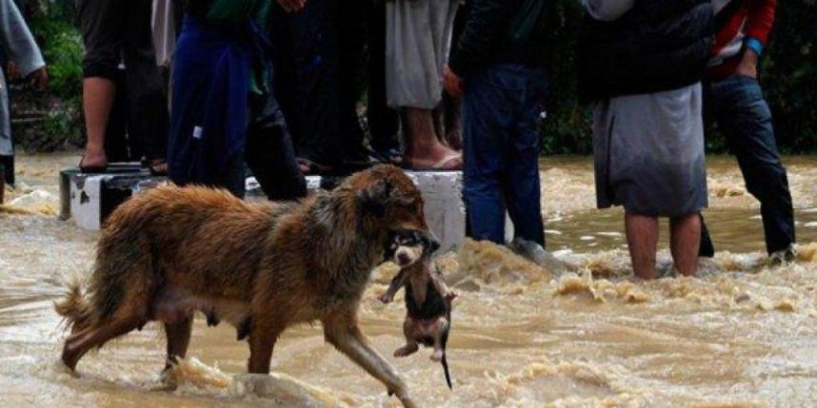 5. Una foto está conmocionando Twitter, que trata de un perro que rescata a su cachorro. Algunos aseguran que ocurrió en Chile, pero todo es mentira. El usuario llamado Sr Nico cuestionó la imagen e indicó que la fotografía no corresponde a Chile, sino a las inundaciones ocurridas en Cachemira el año pasado. Foto:Twitter