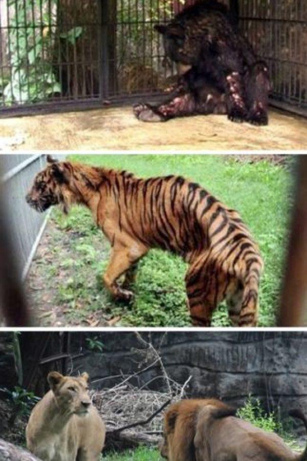 El peor zoológico del mundo: El zoológico de Surabaya, Indonesia. En enero se encontró a un león africano estrangulado en su jaula, ya que sufría de dolores estomacales. Pero este no fue el único caso: el año pasado, más de 40 animales murieron en el mismo zoológico. A una jirafa se le encontró plástico en su estómago y a un tigre, comida con formaldehído. La investigación en el zoológico reveló que muchos animales vivían en condiciones miserables, entre ellos un elefante que estaba encadenado y que tenía úlceras. Luego de la muerte del león, miles de peticiones han pedido el cierre del lugar. Foto:Oddee