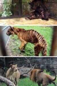 5.El peor zoológico del mundo: El zoológico de Surabaya, Indonesia, quizá es un matadero de animales. En enero se encontró a un león africano estrangulado en su jaula, ya que sufría de dolores estomacales. Pero este no fue el único caso: el año pasado, más de 40 animales murieron en el mismo zoológico. A una jirafa se le encontró plástico en su estómago y a un tigre, comida con formaldehído. La investigación en el zoológico reveló que muchos animales vivían en condiciones miserables, entre ellos un elefante que estaba encadenado y que tenía úlceras. Luego de la muerte del león, miles de peticiones han pedido el cierre del lugar. Foto:vía Oddee