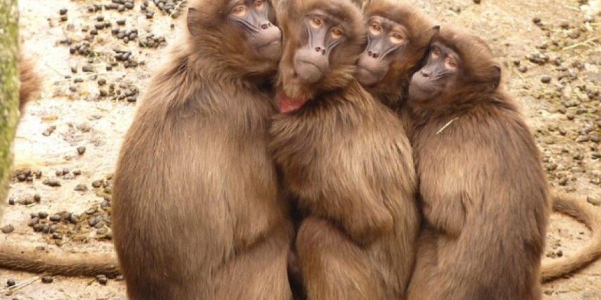 VIDEO: Estos monos sí que tienen buenos modales