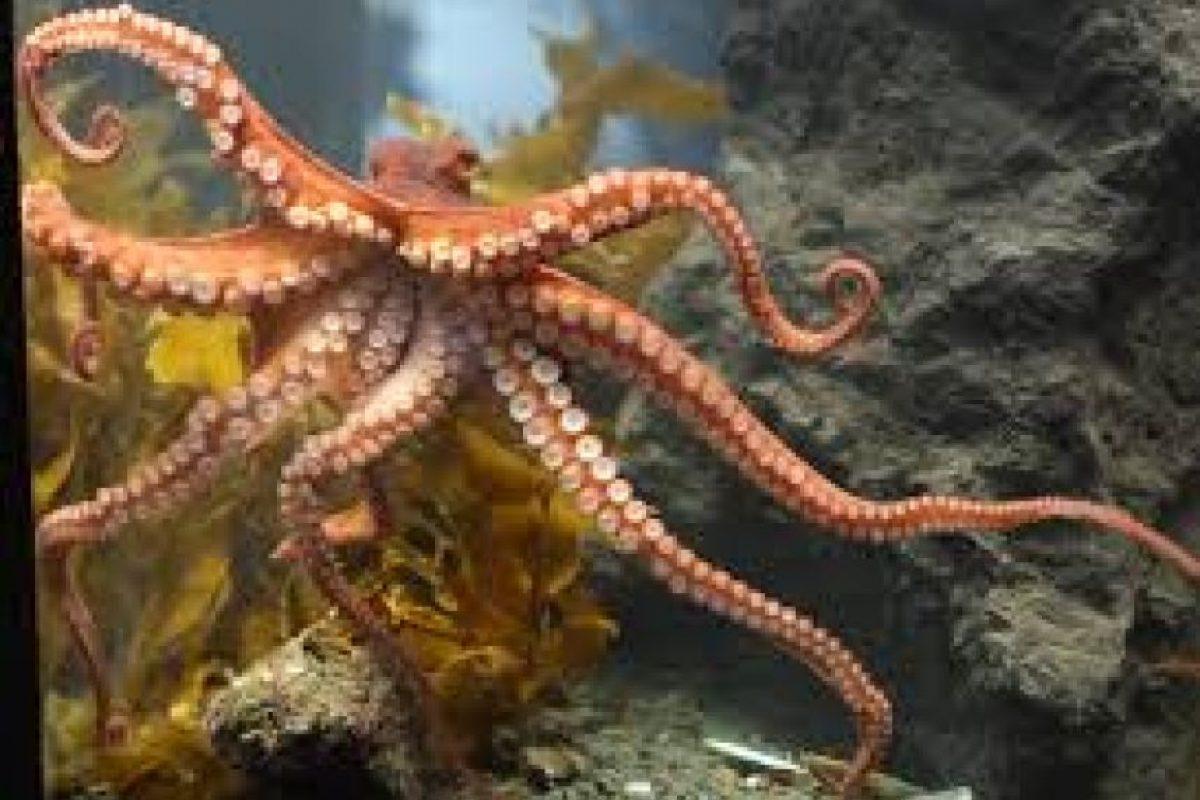 Los pulpos tienen sangre azul. Para sobrevivir en el océano desarrollaron su sangre basada en cobre y no en el hierro, como los humanos. Foto:Wikicommons