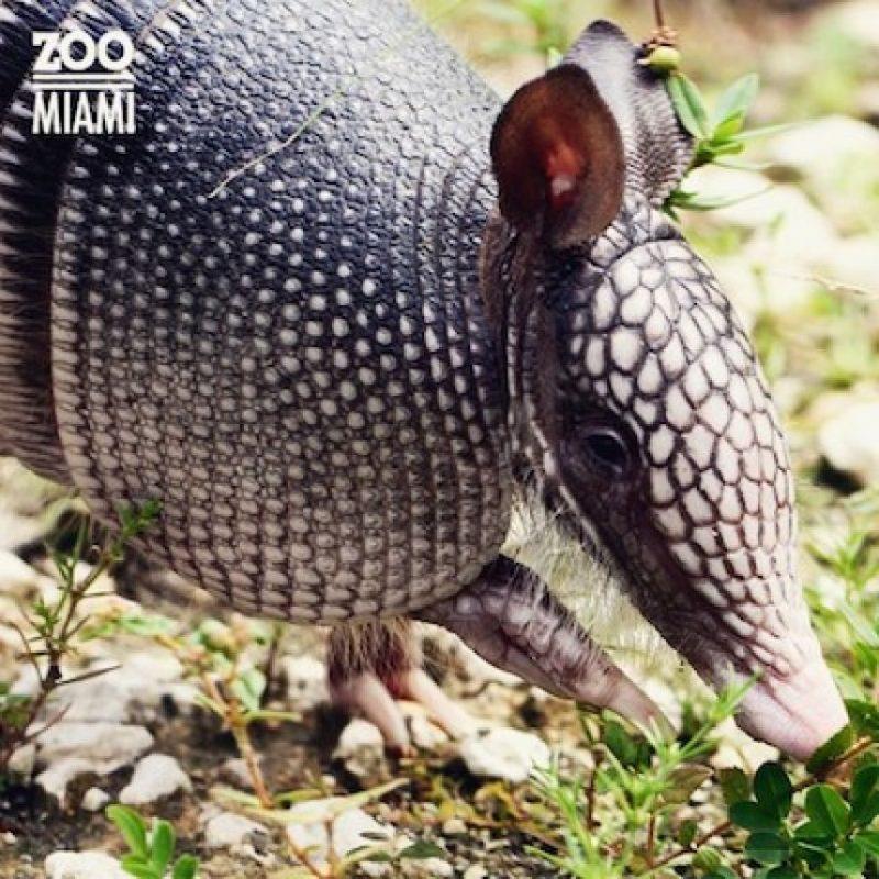 Estos pequeños animales llegan a vivir de 12 a 15 años. Foto:Instagram.com/zoomiami