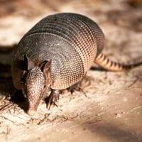Más del 90% de la dieta de un armadillo consiste de insectos. Foto:Instagram.com/davidhousendj