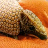 El armadillo al buscar comida destruye, en ocasiones, los nidos de aves que anidan en el suelo, Hay cierto desacuerdo con el tema de que el armadillo come dichos huevos Foto:Instagram.com/bozzyjocie