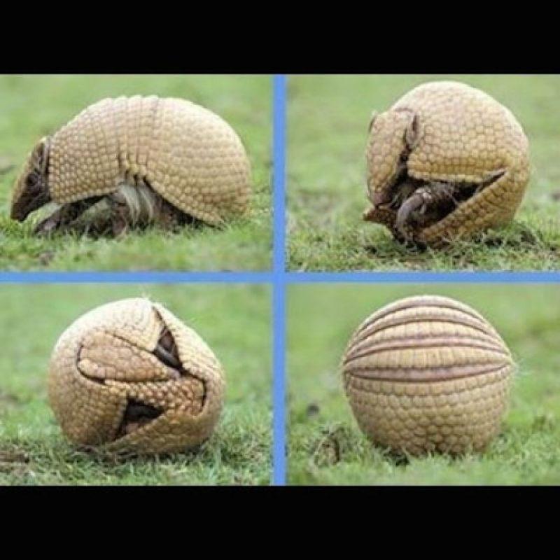 El armadillo bolita o Tolypeutes tricinctus, su nombre científico, fue elegido para ser mascota del Mundial de Fútbol Brasil 2014 Foto:Instagram.com/deblyvan