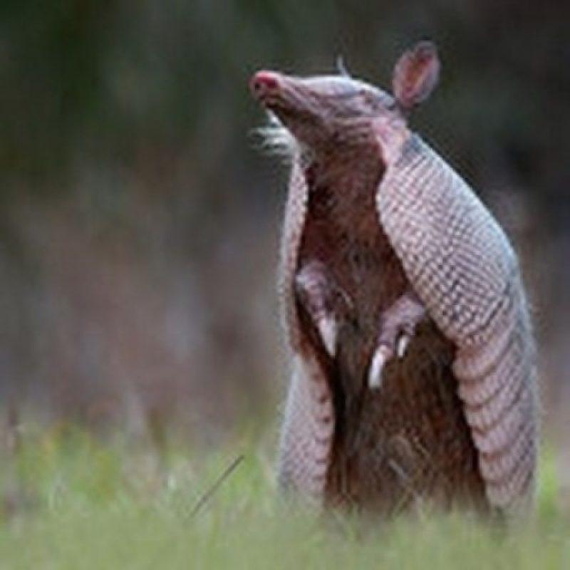 Existen cerca de 20 especies de armadillos en el mundo Foto:Instagram.com/xx.princessemogirlallie.xx