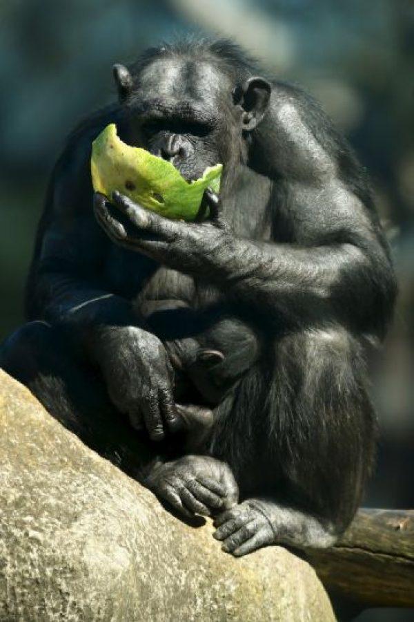 También utilizan piedras para abrir frutos secos y emplean hojas a modo de esponja para recoger agua potable. Foto:Getty Images