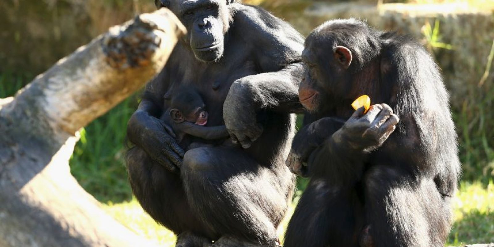 Se alimentan normalmente de frutas y plantas, aunque también comen insectos, huevos y carne. Foto:Getty Images