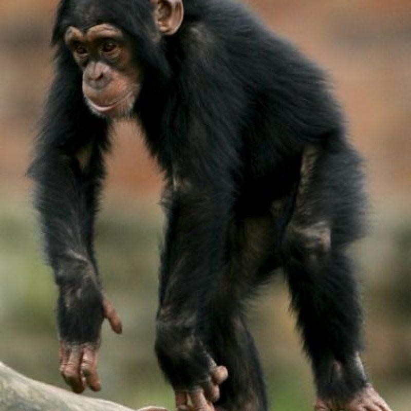 Aunque normalmente caminan utilizando las cuatro extremidades (a cuatro patas), son capaces de levantarse y caminar erguidos. Foto:Getty Images