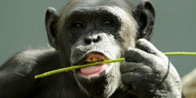 El chimpancé es nuestro pariente vivo más próximo, con el que compartimos el 98 por ciento de nuestro código genético Foto:Getty Images