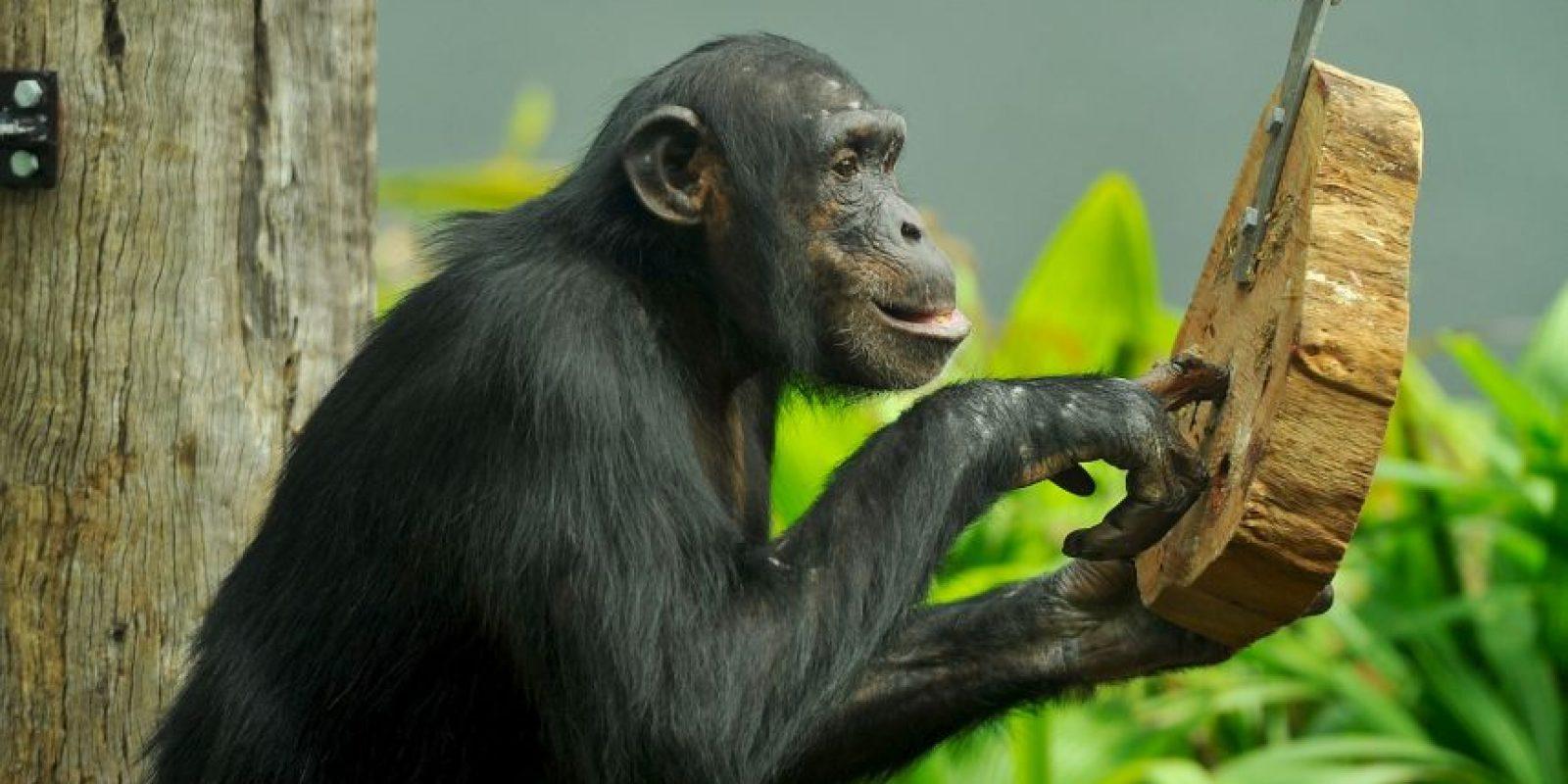 Es una de las pocas especies animales que se sirve de herramientas. Foto:Getty Images