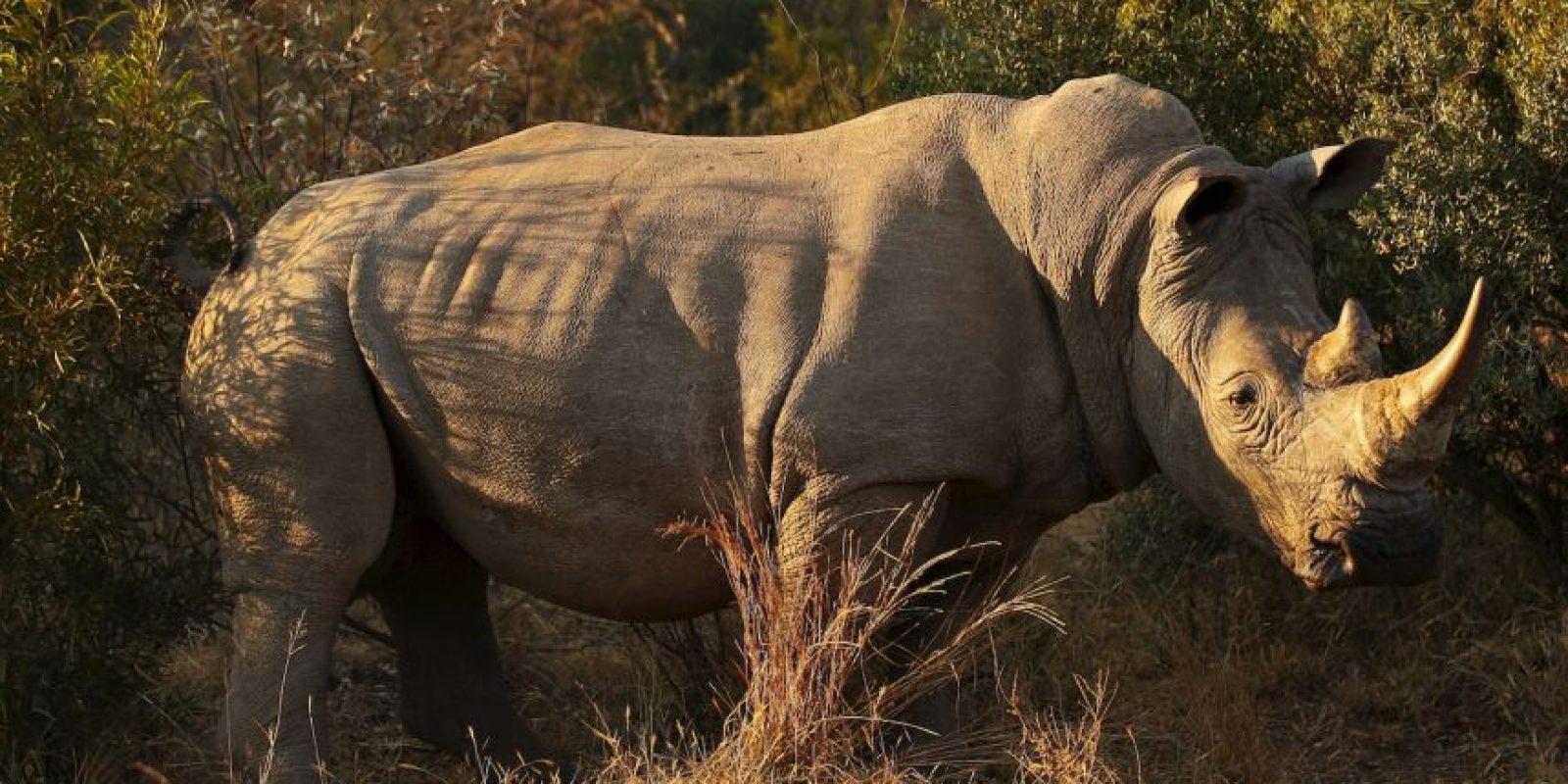 Sudán a sus 42 años ya es un anciano según la edad de los rinocerontes. Foto:Getty Images