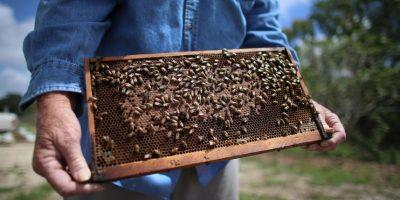 Las obreras son las mas numerosas en toda la colonia, son siempre abejas hembra y son as encargadas de trabajar constantemente durante toda su vida, vida que en regla general, no supera los 50 días. Foto:Getty Images