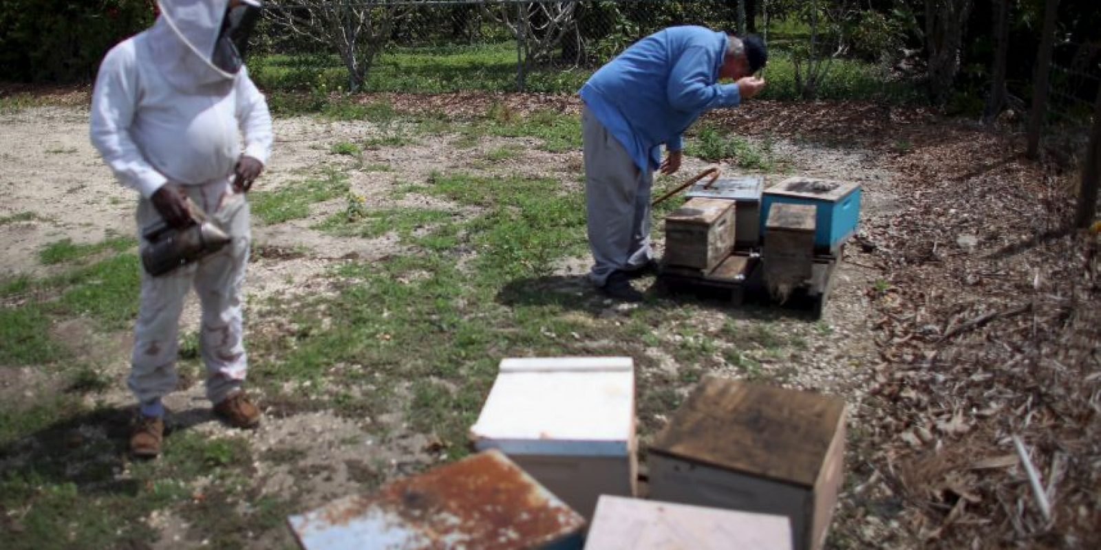 Esta va a nacer de un huevo que recibió cuidados reales, y como para asegurar la existencia de una abeja reina, hay varios huevos de este tipo. la abaje reina al nacer deberá matar la larva de las demás ya ex posibles abejas reales, es decir de sus competidoras. Foto:Getty Images