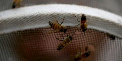 Lo característico y principal de las abejas es su capacidad de socialización y de vivir en colonias complejas y rigurosamente organizadas, donde siempre hay una sola abeja reina, abejas obreras y zánganos. Foto:Getty Images