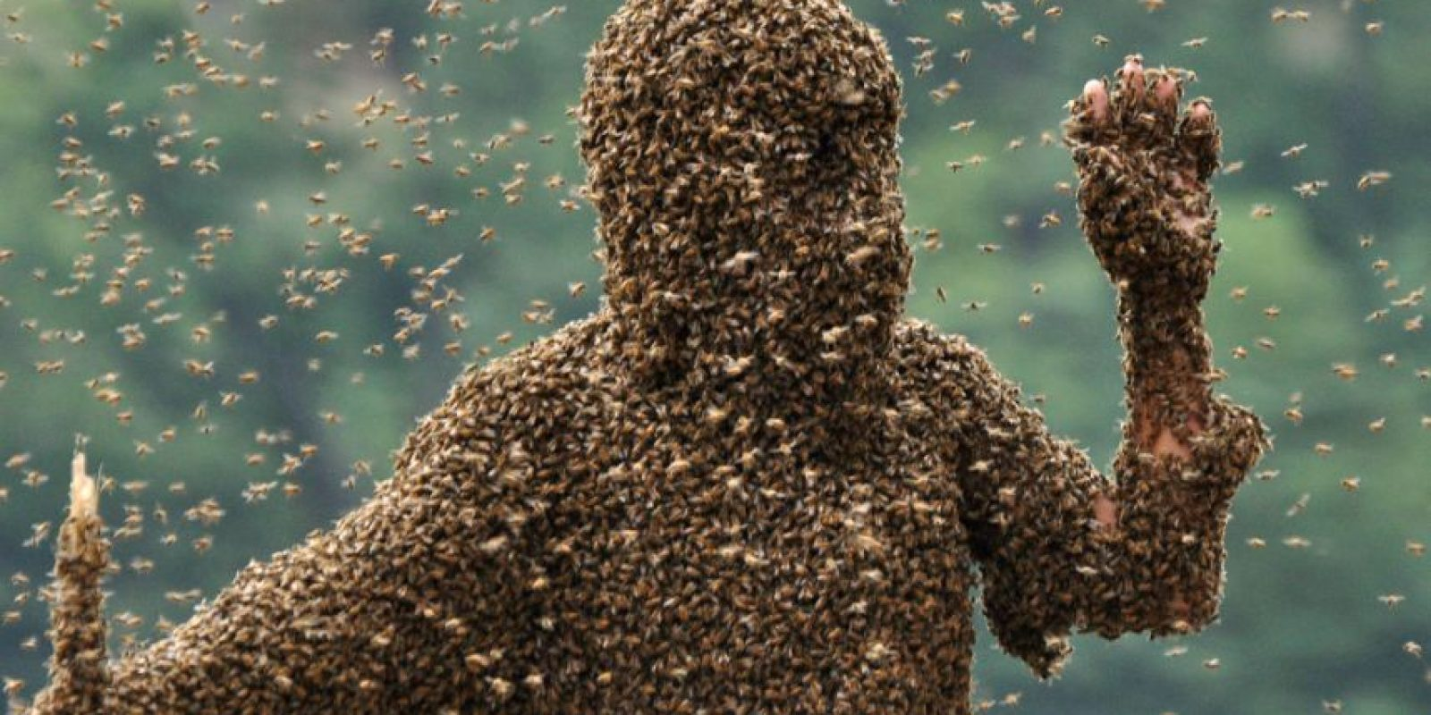 Si llegara a nacer otra abeja reina, deberán pelear a muerte y la que sobreviva será la nueva abeja reina de la colmena que es la única apta para la reproducción ya que las demás obreras son estériles. Foto:Getty Images