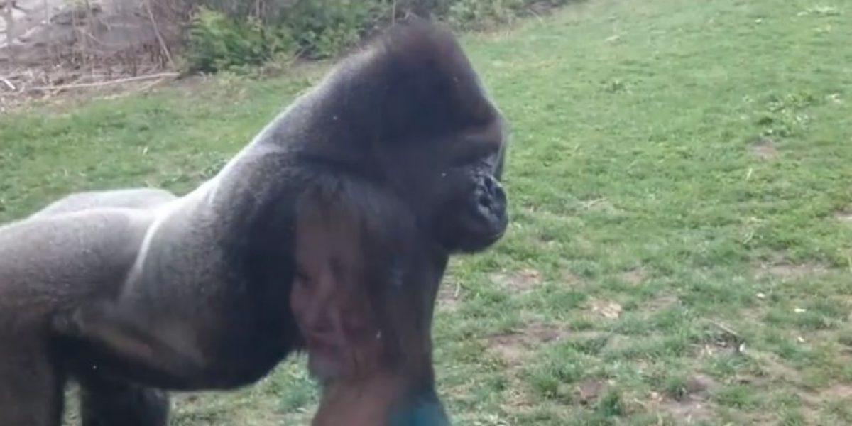 VIDEO: Nunca hagan esto con un gorila o vean lo que les puede pasar