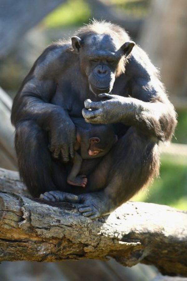 7. La demanda de 2013 incluye expresiones de científicos que aseguran que los chimpancés tienen habilidades cognitivas complejas. Foto:Getty Images