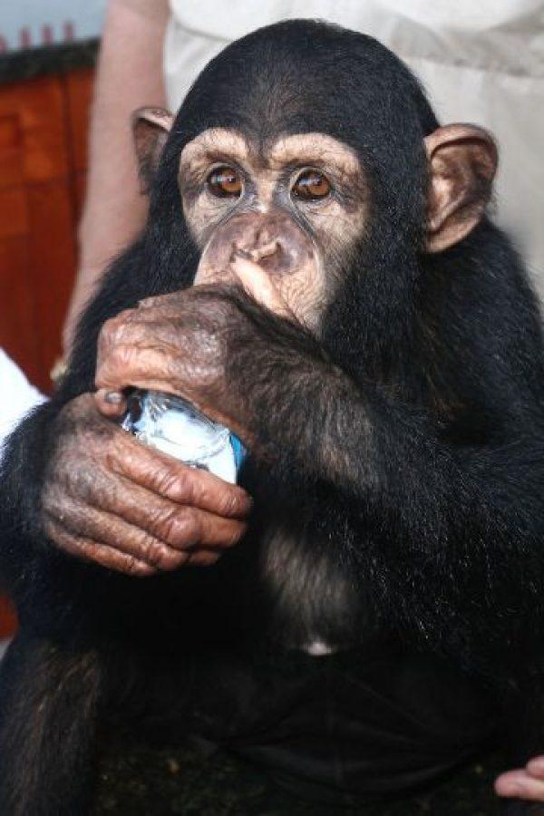 9. De igual forma, aseguraron que los chimpancés pueden demostrar emociones, como la empatía. Foto:Getty Images