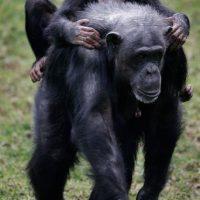 """3. Según la organización de derechos de animales los chimpancés son """"detenidos ilegalmente"""". Foto:Getty Images"""