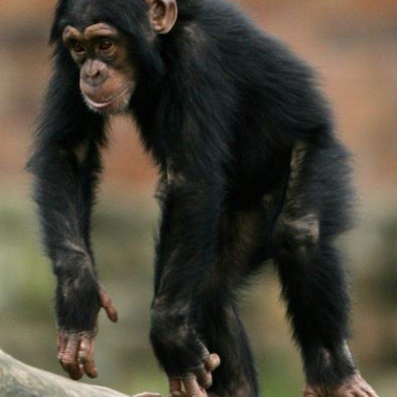 """2. """"Non Human Rights Project"""" ha asegurado que los chimpancés tienen derecho a la libertad. Foto:Getty Images"""