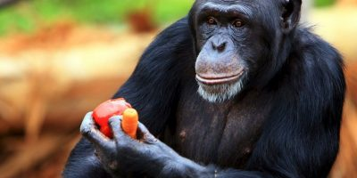 1. La organización busca que los chimpancés sean llevados a un santuario en Florida. Foto:Getty Images