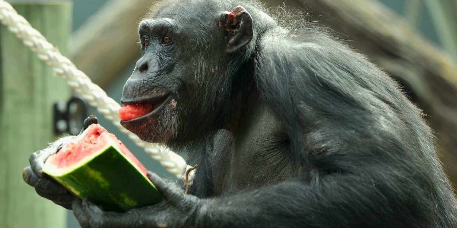6. La jueza declaró a los chimpancés como humanos legales. Foto:Getty Images