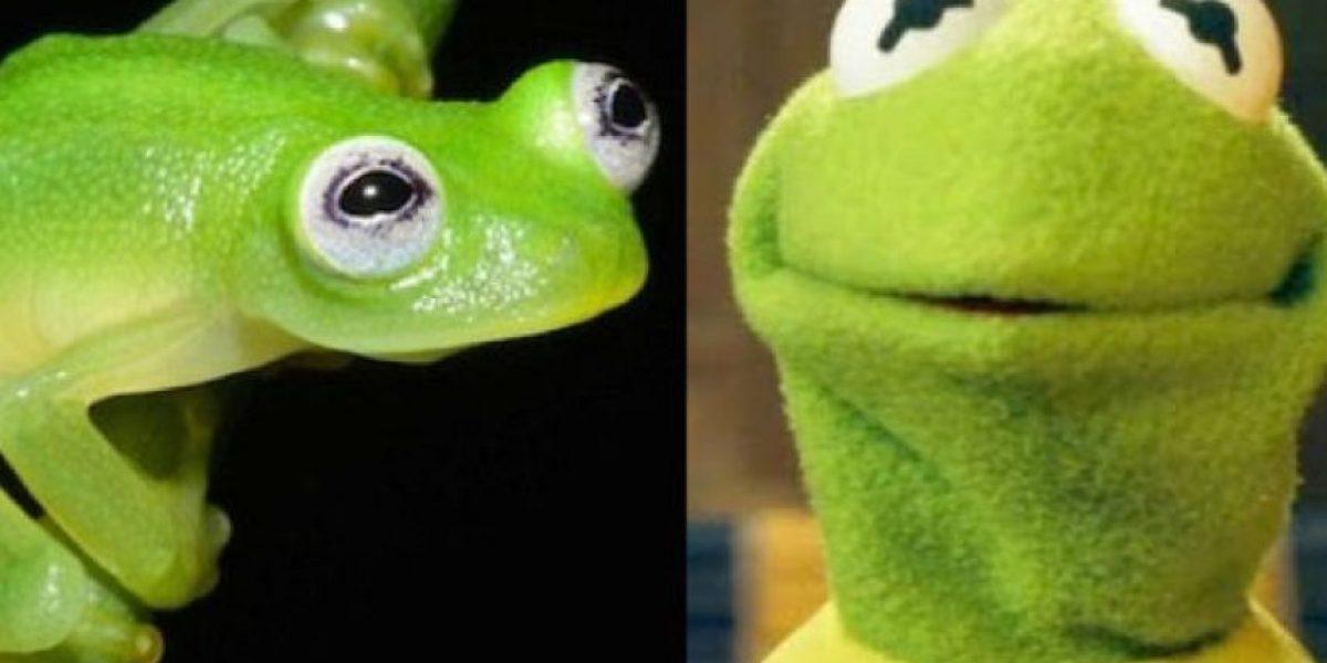 Científico encuentra especie de rana que es igualita a