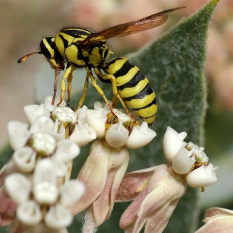 3. Los avispones asiáticos sobrevuelan los panales de abejas para atacarlos. Foto:Vía Wikimedia Commons