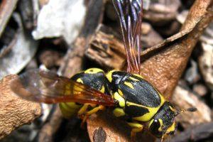 4. Estos decapitan las abejas y les quitan sus alas y patas. Foto:Vía Wikimedia Commons