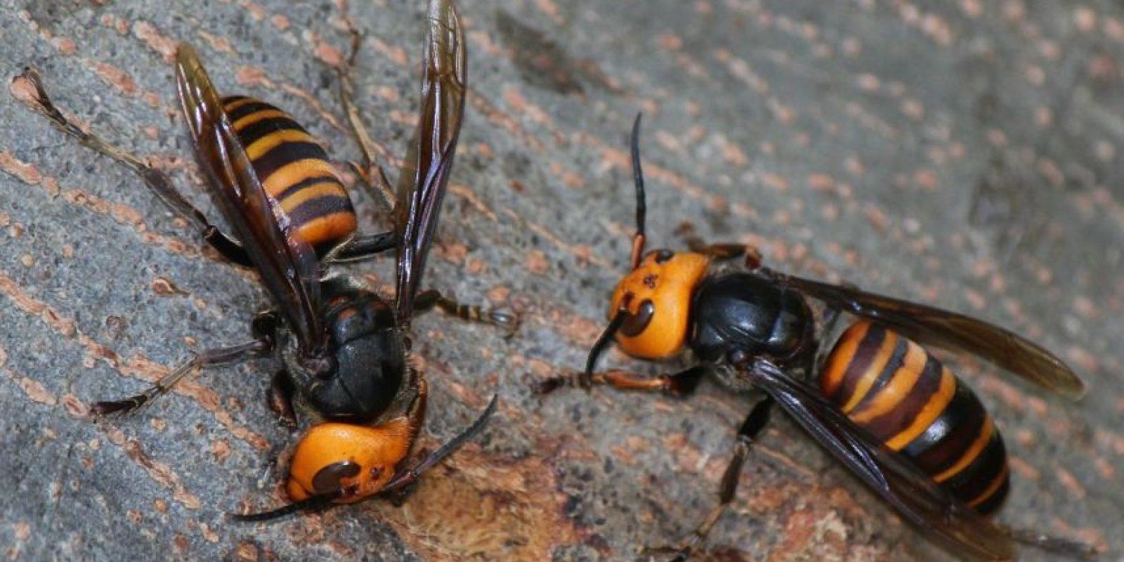 1. Algunos avispones pueden destruir colmenas de 30 mil abejas en solo horas. Foto:Vía Wikimedia Commons