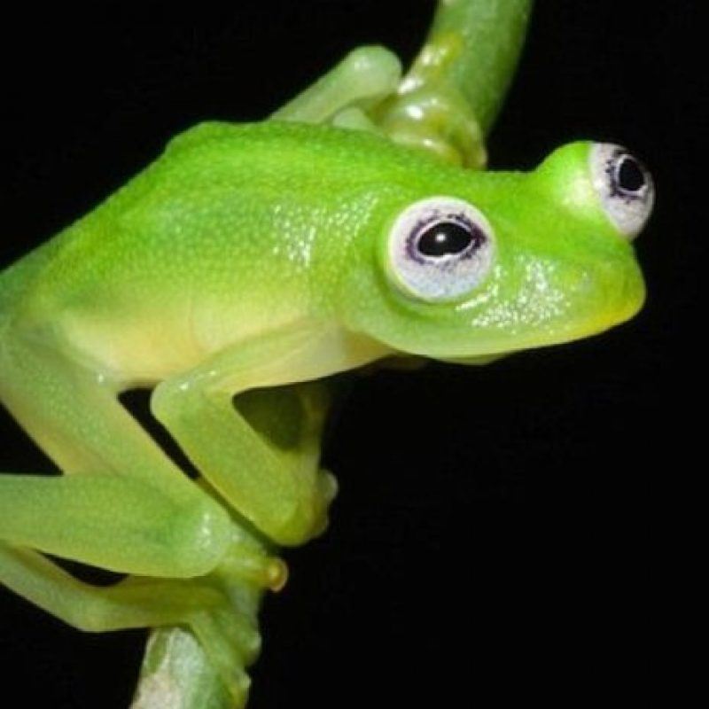 Hyalinobatrachium dianae, el anfibio que se parece a la rana René Foto:Foto Vía Cramphibian