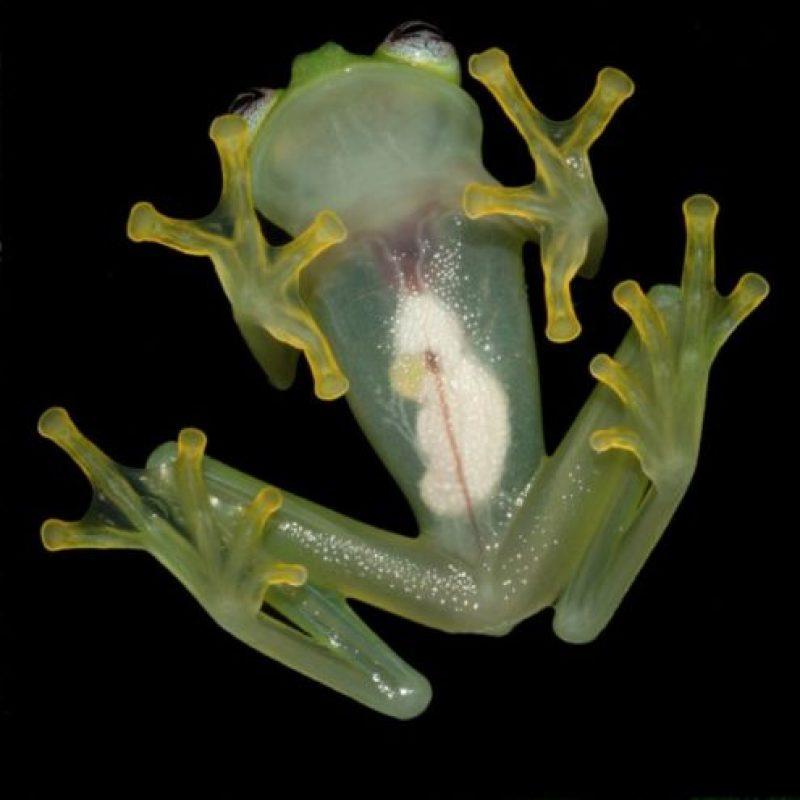 Hyalinobatrachium dianae: Su piel es traslúcida en la parte inferior Foto:Foto Vía Cramphibian
