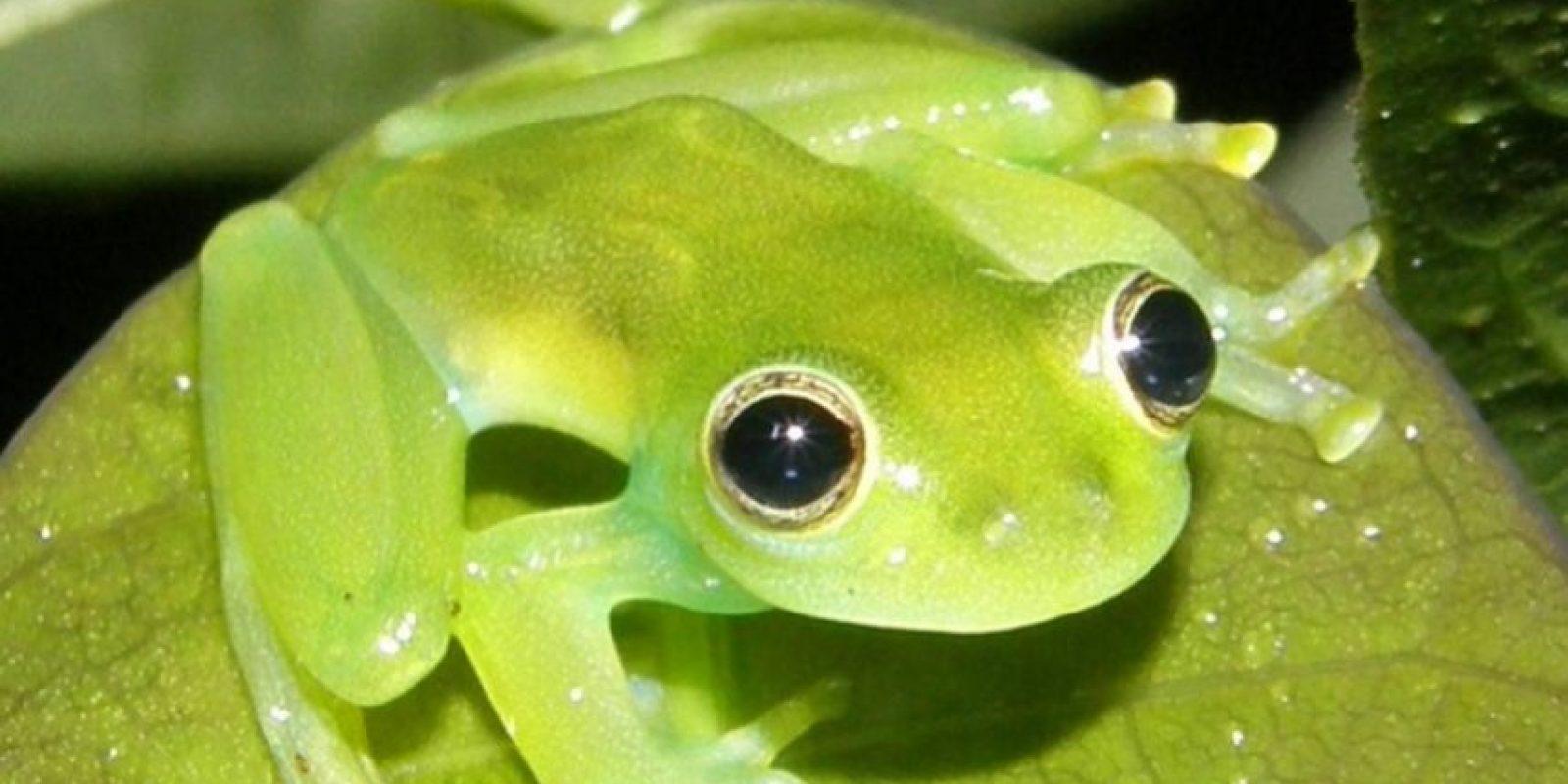 Cochranella spinosa Foto:Wikipedia
