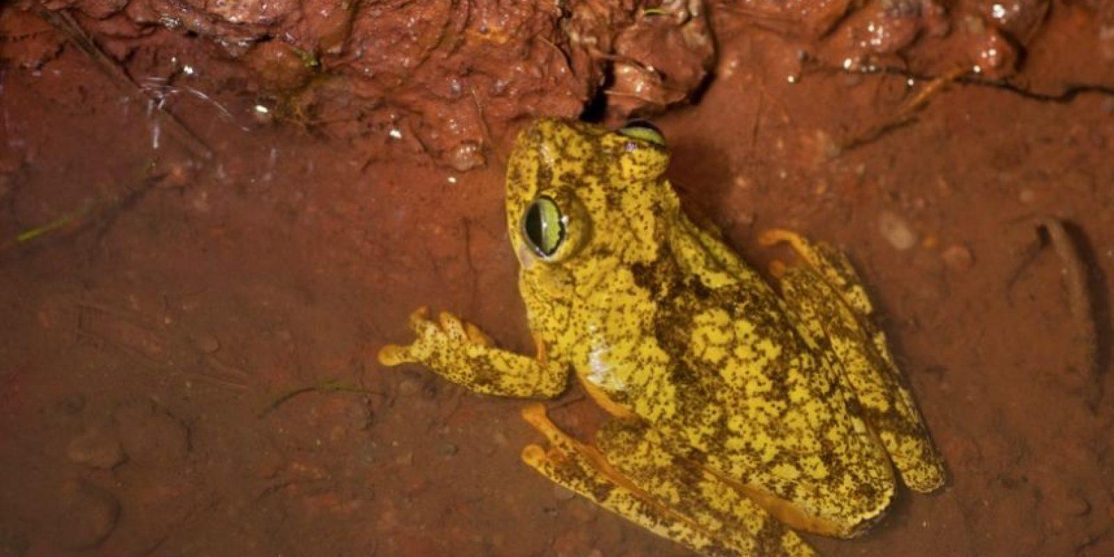 Hypsiboas crepitans Foto:Wikimedia