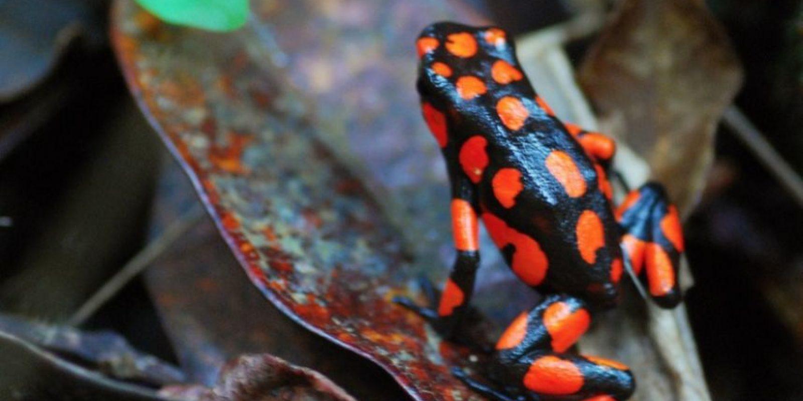 Rana venenosa en Chocó en Colombia Foto:Flickr.com/photos/mario_carvajal/4914008205