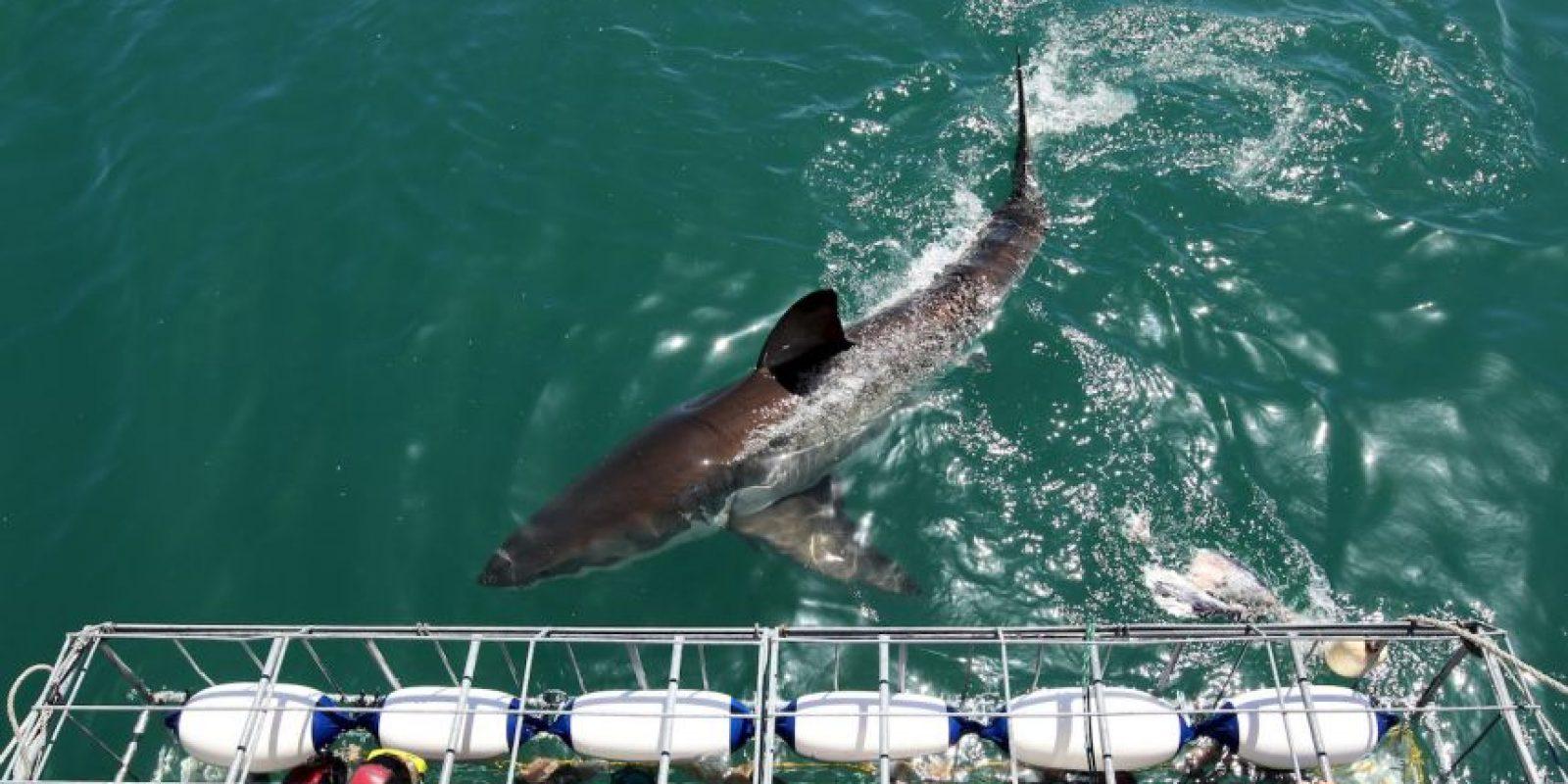 El buceo con tiburones en jaula está causando molestia a la gente que cree que estos animales asocia a los seres humanos como alimento. Foto:Getty Images