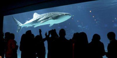 4. Un ejemplar de gran tiburón blanco puede llegar a pesar lo mismo que 15 gorilas. Foto:Getty Images