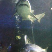 9. La mayoría de los ataques de tiburones ocurren a menos de 30 metros de la costa. Foto:Getty Images