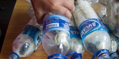 Quedan menos de 7 mil ahora. Pero capturan varios y los encierran en botellas plásticas. Por supuesto, muere el 40% de ellas. Foto:vía Barcroft Media/Other Images