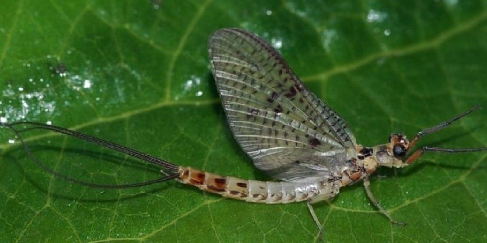 Es una ninfa efímera. Es un animal que tiene 3 mil especies en el mundo. Seguramente, Lyndon aspiró al insecto cuando dormía. Cuando este emergió, ya era adulto Foto:Wikimedia