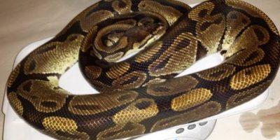 Una serpiente de dos kilos. Foto:vía Craiglist