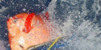Un pez opah es liberado con sensores para rastrear sus temperaturas. Foto:Vía swfsc.noaa.gov
