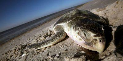 Lamentablemente la tortuga marina es un animal muy buscado por el hombre, ya que puede aprovechar todo de ella: carne, caparazón, piel y huevos Foto:Getty Images