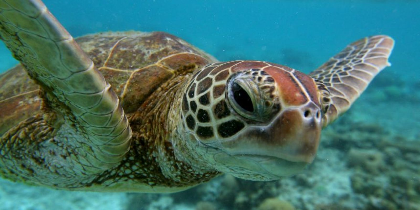 Las tortugas marinas forman parte de los quelonioideos (Clasificación científica: familia Chelonioidea) Foto:Getty Images